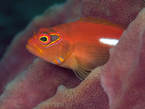 Ring-eye Hawkfish, Tulamben by Doug Anderson 
